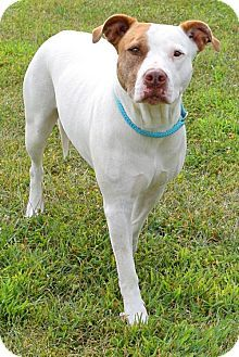Westampton, NJ - American Staffordshire Terrier Mix. Meet Emme D-65919, a dog for adoption. http://www.adoptapet.com/pet/13575215-westampton-new-jersey-american-staffordshire-terrier-mix