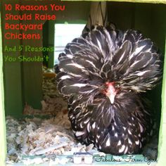 10 Reasons to raise backyard chickens/5 Reasons not to!