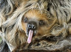 An eight-month-old baby sloth Camillo yawns