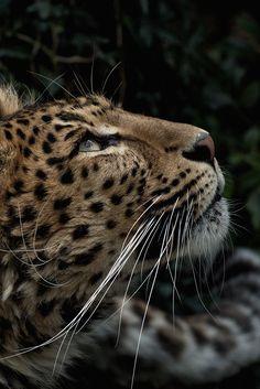 Sweet stroll - jrxdn:  Leopard   ©   Instagram
