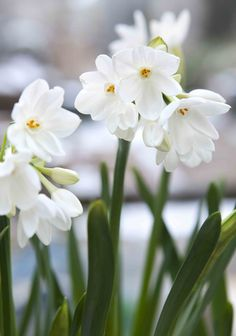 Narcissus 'Paperwhite Ziva': an early-blooming daffodil, producing white, star-like petals surround a small trumpet. Flowers in the winter and spring through January, February, March. More: http://www.gardenersworld.com/plants/narcissus-paperwhite-ziva/4695.html Photo by Sarah Cuttle