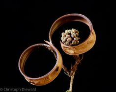 """""""Calliandra seedpod - twisted and open"""" - © Christoph Diewald (Flickr)"""