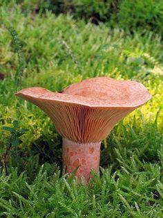Mleczaj rydz - rodzina gołąbkowatych (wspaniały i smaczny grzyb jadalny) potocznie nazywany w różnych rejonach Polski: rydz, rydz smaczny, rydz prawdziwy, rydz pański, rydzyk, rydzek, rycek, ryżyk, ryżok,rudy,smardz.