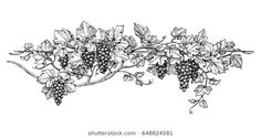 "Buy the royalty-free Stock vector ""Hand drawn vector illustration of grapes. Vine sketch isolated"" online ✓ All rights included ✓ High resolution vector. Grape Drawing, Vine Drawing, Grape Wallpaper, Vine Tattoos, Leaf Tattoos, Fruits Drawing, Free To Use Images, Fruit Art, Vector Photo"