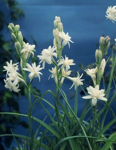 The 100 best august flowers images on pinterest august flowers polianthes tuberosa the pearl august flowersblooming flowerslarge plants white mightylinksfo