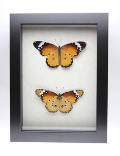 Real African Monarch Butterfly framed insect bug gift Danaus chrysippus