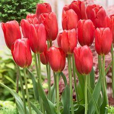Tulip Sky High Scarlet from Van Zyverden Inc - Year of the Tulip - National Garden Bureau Different Plants, Garden Bags, Bulb Flowers, Growing Tulips, Evergreen Plants, Tulips, Fall Flowers, Spring Landscape, Garden Express