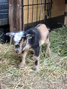My first day alive! Animal Babies, Cute Baby Animals, Pygmy Goats, Nigerian Dwarf Goats, Goat Farming, Country Farm, Farm Life, Cute Babies, Baby Pets