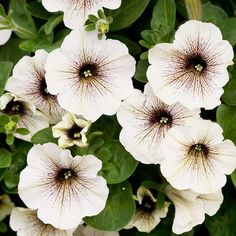 Supertunia White Russian Petunia....one of the new 2012 annuals.  Heat and drought tolerant....gotta love that!