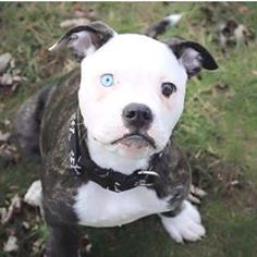 Uplifting So You Want A American Pit Bull Terrier Ideas. Fabulous So You Want A American Pit Bull Terrier Ideas. Amstaff Terrier, Pitbull Terrier, Terrier Mix, Pit Puppies, Cute Dogs And Puppies, Doggies, Cute Little Animals, Cute Funny Animals, Beautiful Dogs