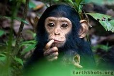 chimpanzee pictures - Google Search