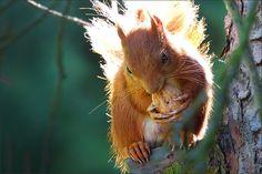 Eichhörnchen im sonnigen Gegenlicht mit einer Walnuss - Jahreszeiten - Galerie - Community