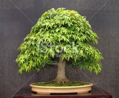 bonsai marijuana trees - Google Search