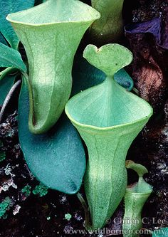 Nepenthes campanulata. This very rare pitcher is from Borneo.