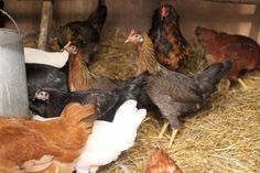When+cold+weather+arrives,+winterizing+the+chicken+coop+will+keep+the+flock+happy,+healthy+and+comfortable.+Make+sure+your+coop+is+ready+to+face+the+elements+before+Old+Man+Winter+comes+to+call.