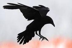 Bildergebnis für raben krähen