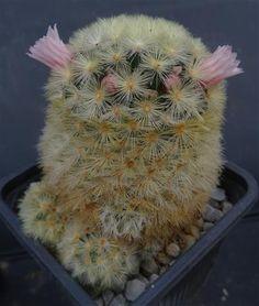 Mammillaria carmenae  Cactus loft.