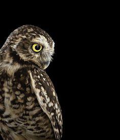Wat een unieke fotoserie van Brad Wilson: uilen poseren voor zijn camera