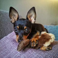 Ferocious yeah right Chihuahua Puppies, Baby Puppies, Cute Puppies, Cute Dogs, Dogs And Puppies, Chihuahuas, Doggies, Mini Pinscher, Miniature Pinscher