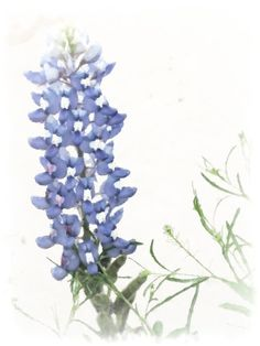 "Bluebonnets Watercolor- I would love a water color blue bonnet with the saying ""The ones who love us never truly leave us"" for my beautiful Nanny"