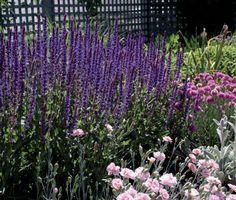 Salvia nemorosa 'Tanzarin' | Lambley Nursery