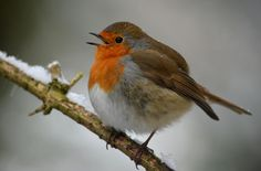 Wow! Robin by Ryan Clark Nature Photography, via Flickr