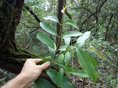 planta invasora na cidade de São Paulo - jambolão (syzygium jambolanum)
