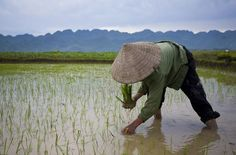 Vietnam's rice fields