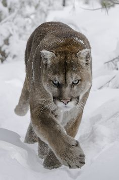 Cougar in the Snow - Gorgeous !