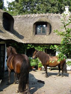 Horses in thatched roof cottage courtyard♧