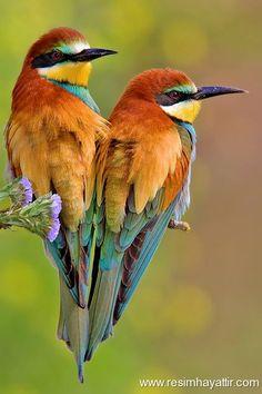 Resim Hayattır - Güzel Resimler - Kuş Resimleri - iki güzel renkli kuş -