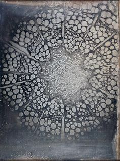[][][] Cross-Section of a Clematis, by Andreas Ritter von Ettingshausen, 4 March 1840 (daguerreotype)