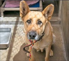 Beautiful German shepherd: Who will be the one to save her life?
