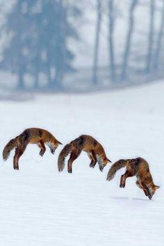 #hop #jump #fox