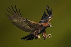Aigle royal - Golden Eaglle - Águila real ( Aquila chrysaetos ) Landingv by Ronald Coulter on 500px
