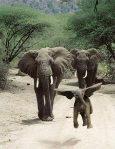 Dancing baby elephant looks like he's flying.