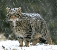 The elusive Scottish Wild Cat is a tough character and one that has endured the worse weather and conditions thrown at it.    Peter Cairns has managed to photograph this shy creature and has a very interesting website called the Highland Tiger which informs the reader about the difficult task of tracking and monitoring this endagered animal.