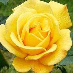 Radiant Perfume - Grandiflora rose - Plant Encyclopedia - BHG.com