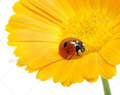 ladybug ...  background, beautiful, beetle, black, blossom, bug, closeup, daisy, flower, garden, insect, ladybird, ladybug, macro, nature, petal, plant, red, small, spring, summer, white, yellow