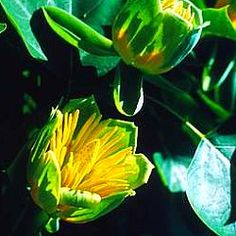 Liriodendron tulipifera - Tulip Tree  - Deciduous  - Moist deep soil preferred for best results.  - Dimensions: 12x6 metres