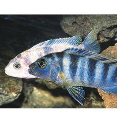 Spotted african leaf fish live fish petsmart for Petsmart live fish