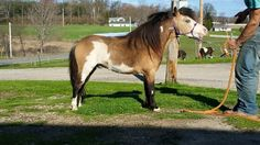 Pacific Pintos Painted Prints.  my 5 yo Lwo+ stallion with loads of personality and color