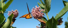 A Future for Monarchs Bringing the iconic butterfly back from the brink  https://www.edf.org/card/future-monarchs Our Planet, Organizations, Conservation, Sustainability, Tin, Butterflies, Stock Photos, Pewter, Papillons