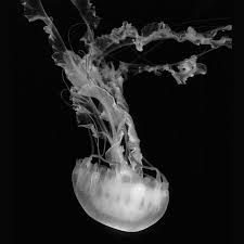 Image result for black and white jellyfish photography