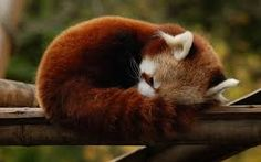 Image result for red panda