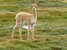 「baby vicuña」的圖片搜尋結果