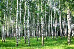Beautiful summer birch grove in the evening sunlight