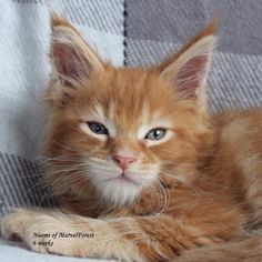 orange and white photos of main coon cats Tabby+maine