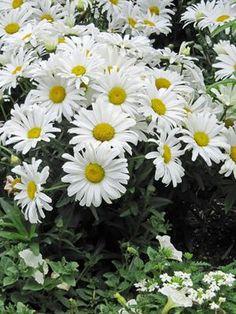 Shasta Daisy 'Daisy May' (Proven Winner) 20-24 inches