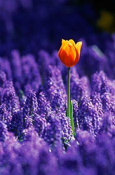 Tulip, Holland Photographic Print by Peter Adams Be Your Own Kind Of Beautiful, Beautiful World, Tulips Holland, Wall Art For Sale, All Things Purple, Orange And Purple, Color Photography, Flower Power, Beautiful Flowers